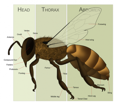HoneyBeeAnatomy